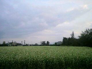 『蕎麦の花』